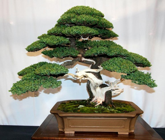50-juniper-font-b-bonsai-b-font-font-b-tree-b-font-font-b-potted-b
