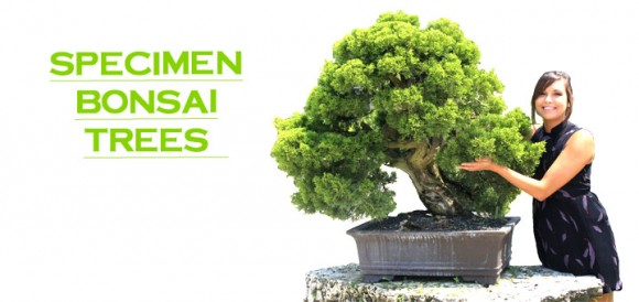 Specimen_Bonsai_Trees